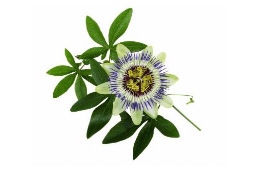 passiflora nedir, faydaları nelerdir